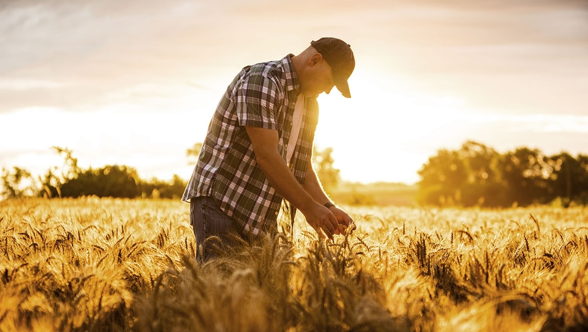 A farmer standing in a corn field at sunset
