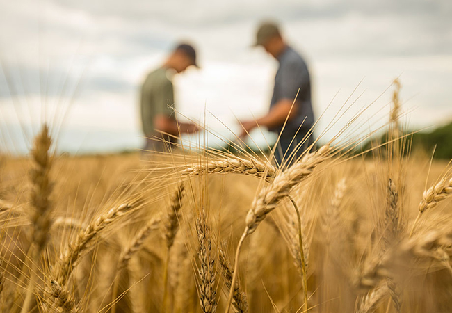 Two farmers in a wheat field evaluating the crop